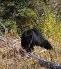 UA 07SP0877<br /> <br /> American blackbear (Ursus americanus).<br /> <br /> Photograph taken in Yellowstone Park.