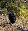 UA 07SP0879<br /> <br /> American blackbear (Ursus americanus).<br /> <br /> Photograph taken in Yellowstone Park.