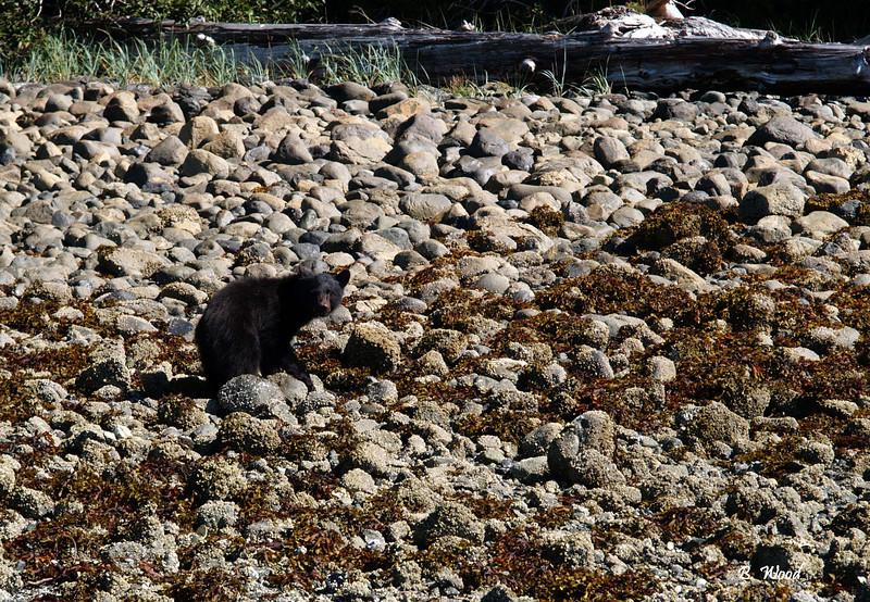 UA 07SP2102<br /> <br /> American blackbear (Ursus americanus) cub.<br /> <br /> Photograph taken on Flores Island, BC, Canada.