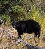 UA 07SP0870<br /> <br /> American blackbear (Ursus americanus).<br /> <br /> Photograph taken in Yellowstone Park.