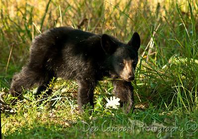 Black Bear Cub Cades Cove Great Smoky Mountains