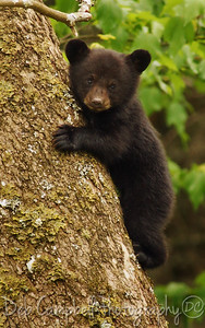Wee little bear cub Cades Cove Great Smoky Mountains