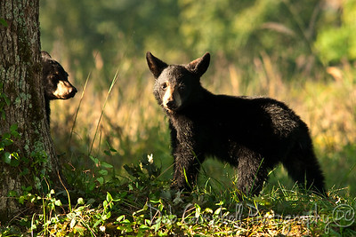 A couple of Cubs Cades Cove Great Smoky Mountains