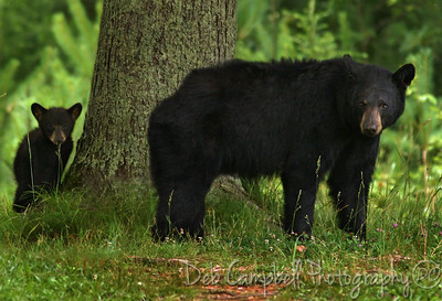 American Black Bear with her cub Cades Cove Great Smoky Mountains