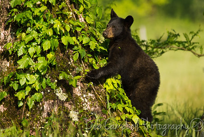 The Tree Hugger Cades Cove Great Smoky Mountains