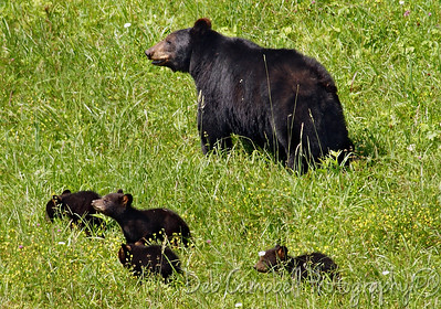 Mom with 4 cubs ---June 2009