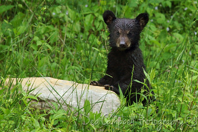 A little wet bear cub after a Spring rain Cades Cove Great Smoky Mountains