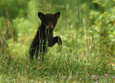 Curious little bear cub Cades Cove