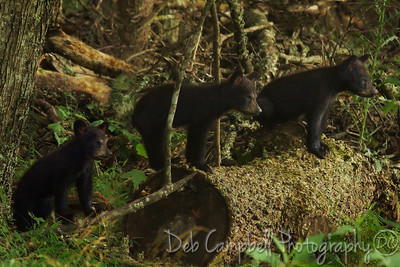 Three Little Bears watch their Mom in the Meadow. Cades Cove Great Smoky Mountains