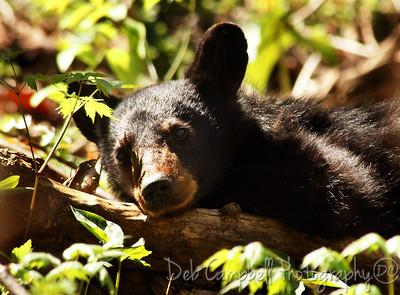 Bear Cub GSMNP Great Smoky Mountains
