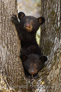 Two little cubs sitting in a tree Cades Cove Great Smoky Mountains