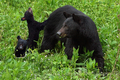 Momma bear and two of her three cubs Cades Cove Great Smoky Mountains