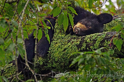 American Black Bear Cub napping on a Cherry tree limb. Cades Cove Great Smoky Mountains