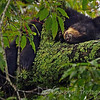 American Black Bear Cub<br /> napping on a Cherry tree limb.<br /> Cades Cove<br /> Great Smoky Mountains