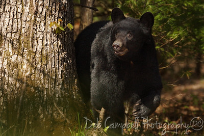 American Black Bear sow. Cades Cove Great Smoky Mountains