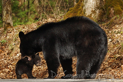 Momma attempting to pick up one of her cubs to get it out of the road. Cades Cove Great Smoky Mountains