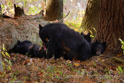 A mother bear sow and her 3 little cubs waking up from their morning nap. Cades Cove Great Smoky Mountains National Park