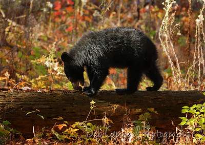 Foraging Bear Cub Cades Cove Great Smoky Mountains