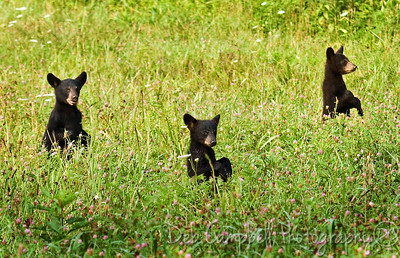 Triplet Black Bear cubs Cades Cove Great Smoky Mountains