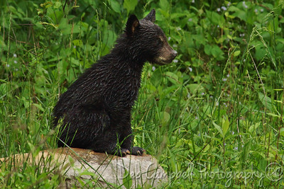 Little wet bear cub after a Spring rain Cades Cove Great Smoky Mountains