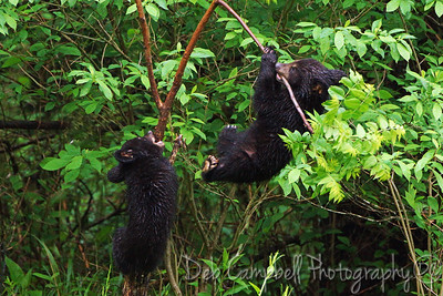 Two cubs playing around Cades Cove Great Smoky Mountains