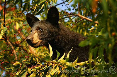 Bear Cub in a Cherry Tree Cades Cove GSMNP