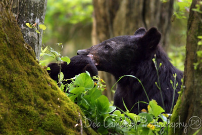 Momma Bear and her babe Cades Cove Great Smoky Mountains