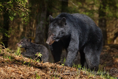 A mother bear tends to her blue-eyed baby cub as her other two sit in a nearby tree. They were such a sweet family and she seems to be a good mother.  Cades Cove Great Smoky Mountains