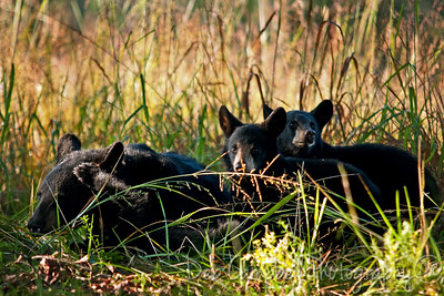 Black Bear Cub Family Cades Cove Great Smoky Mountains