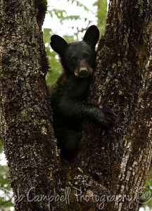 Black Bear Cub Cades Cove GSMNP Cades Cove Wildlife Photography Great Smoky Mountains Wildlife Photography