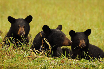 Black Bear Sow with her two cubs Cades Cove Great Smoky Mountains