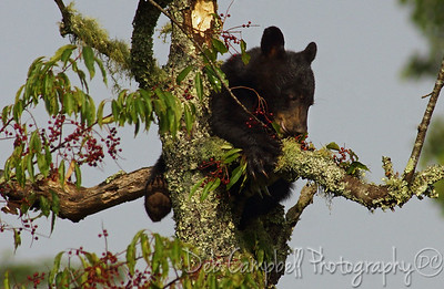 American Black Bear Cub in Wild Chokecherry Tree Cades Cove Great Smoky Mountains