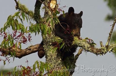 American Black Bear Cub in Wild Chokecherry Tree Cades Cove Great Smoky Mountains