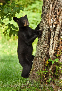 Tree Hugger bear cub Cades Cove Great Smoky Mountains