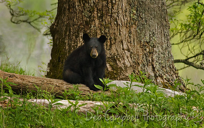 A yearling cub perched on the edge of the woods. Cades Cove Great Smoky Mountains
