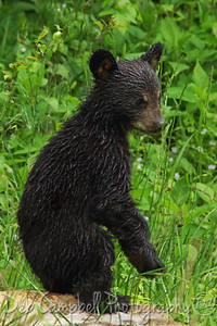 Black Bear Cub after  Spring rain Cades Cove Great Smoky Mountains