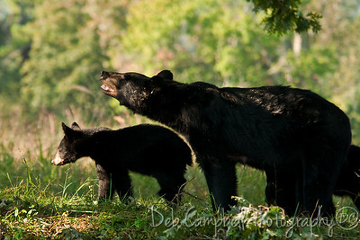 Mom and one of her cubs Cades Cove Great Smoky Mountains