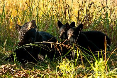 Black Bear Cub Family Cades Cove Great Smoky Mountains