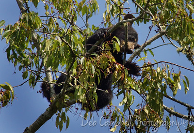 Black Bear Cub in Cherry Tree Cades Cove Great Smoky Mountains