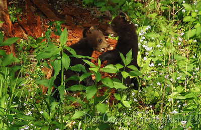 Two Little Bear Cubs playing around. Cades Cove Great Smoky Mountains
