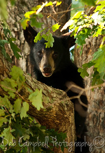 Black Bear Cub Cades Cove Great Smoky Mountains