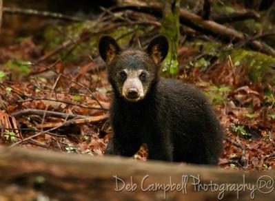 Bear Cub Cades Cove