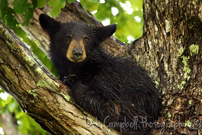 Soggy Bear Cub  in the rain. Cades Cove Great Smoky Mountains