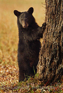 Little Cub Lost Can't find his mom Cades Cove  Great Smoky Mountains