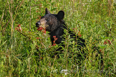 Bear in the Berries
