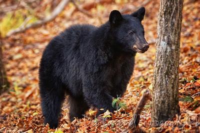 Little Bear in Fall
