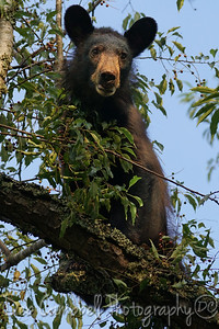 Young Black Bear in Cherry Tree Cades Cove Great Smoky Mountains