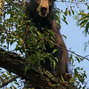 Young Black Bear in Cherry Tree<br /> Cades Cove<br /> Great Smoky Mountains