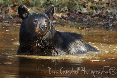 American Black Bear cooling off in a mud hole Cades Cove Great Smoky Mountains National Park