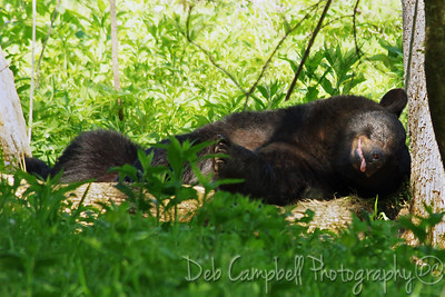 Big Bear trying to sleep off a big meal Cades Cove Great Smoky Mountains